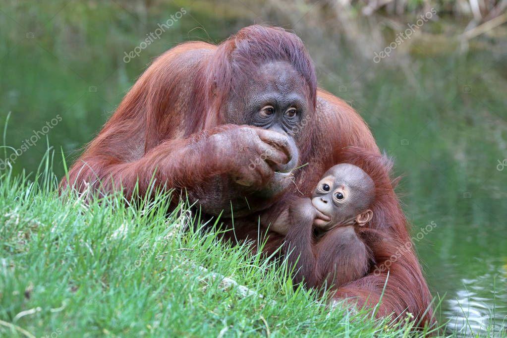 Orangutan mother with baby close up shot