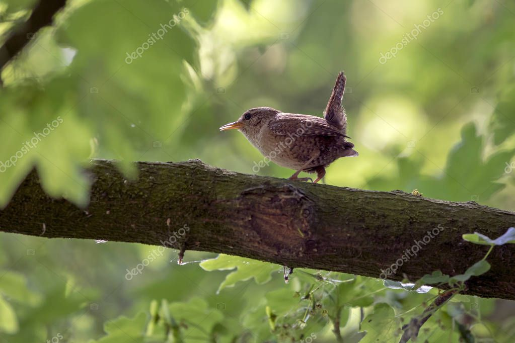 Eurasian Wren close up shot