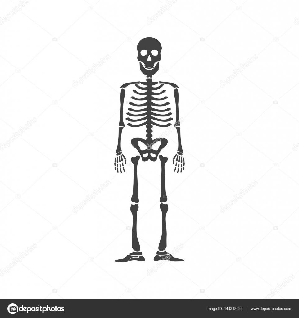 Anatomía del esqueleto humano — Archivo Imágenes Vectoriales © 4zeva ...