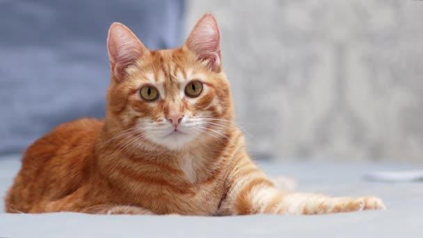Piros macska feküdt az ágyon, és egyenesen a kamerába nézett egy komoly pillantást. Sekély fókusz és homályos háttér.