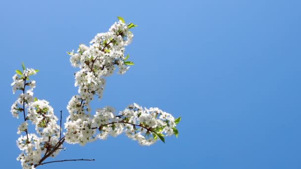 Flowering cherry branch and bees flying around against the blue sky