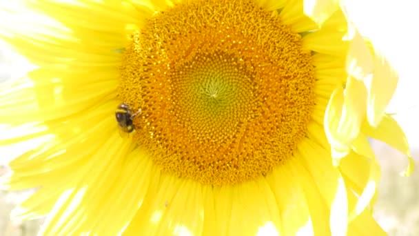 Méh nektárt gyűjt egy napraforgó virág