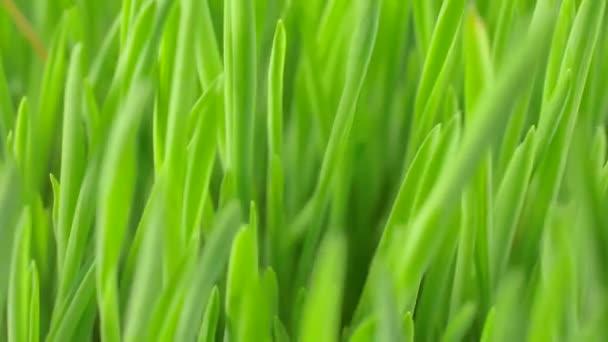 Zelená tráva klíčky zavřít