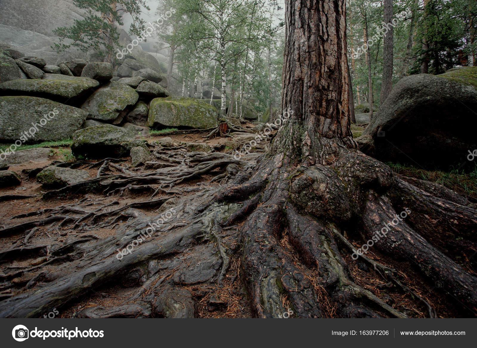 Дерево с большими извилистыми корнями в темном лесу с ...