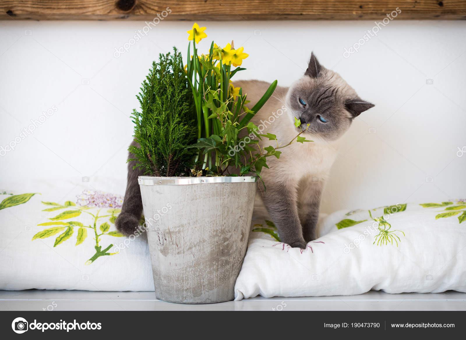 Cute playful blue eyed siamese kitten sniffing potted spring flowers cute playful blue eyed siamese kitten sniffing potted spring flowers stock photo mightylinksfo