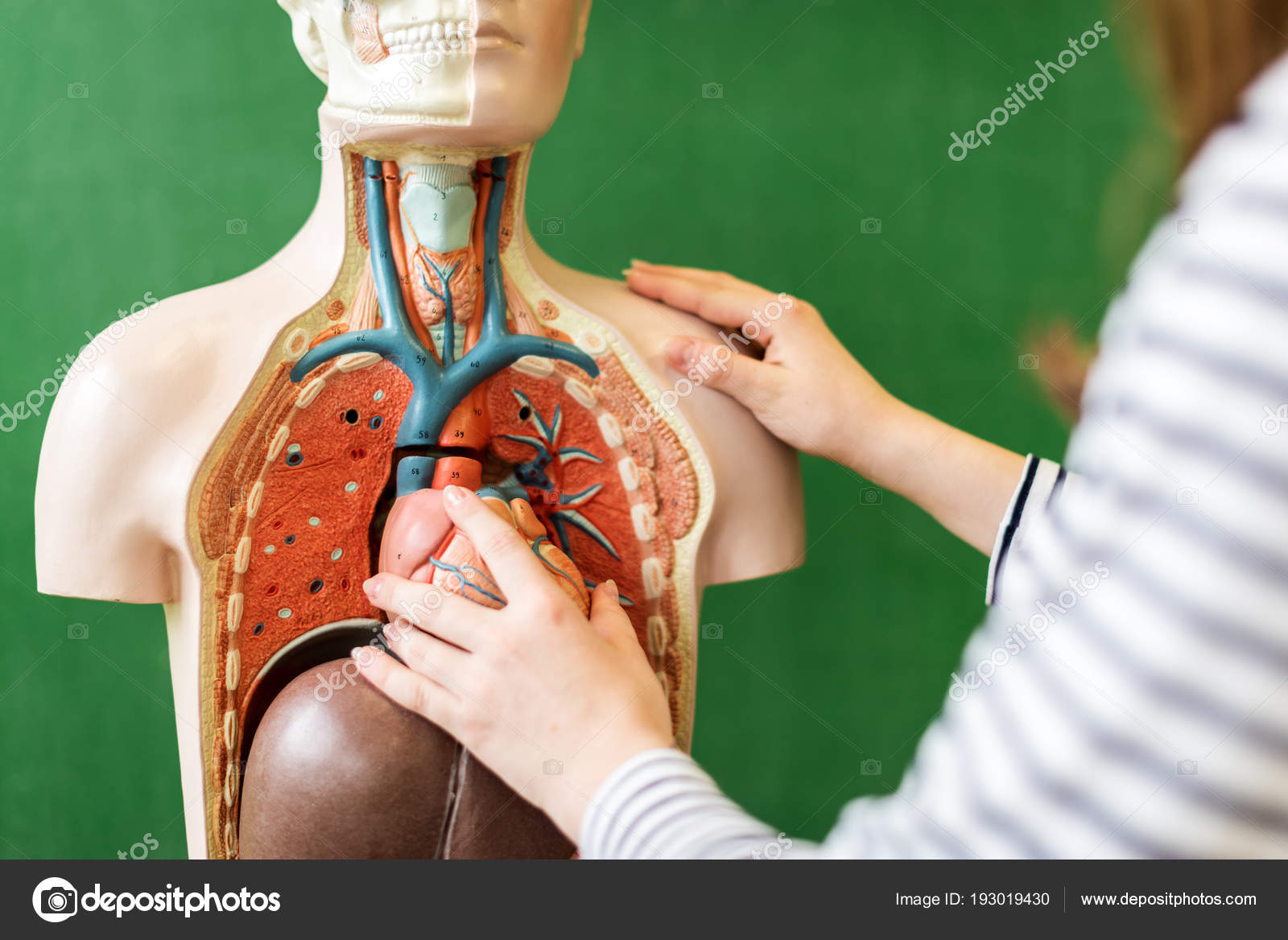Close High School Student Learning Anatomy Biology Class Putting ...