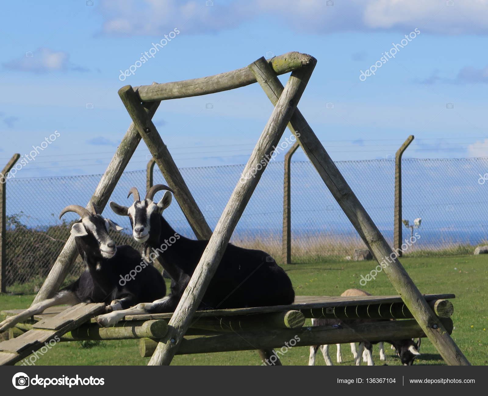 Klettergerüst Ziegen : Ziegen auf klettergerüst u stockfoto johnnywalker
