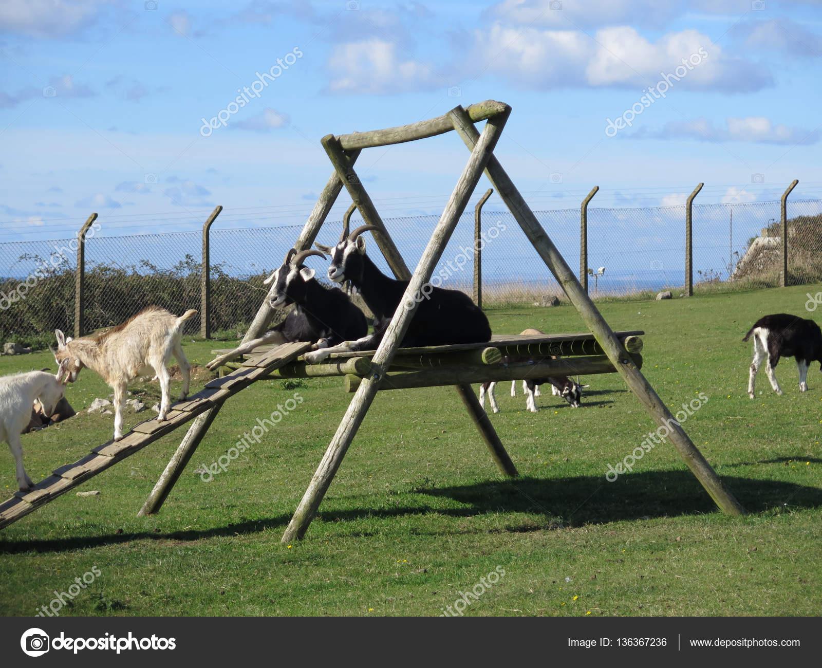 Klettergerüst Ziegen : Ziegen auf klettergerüst u2014 stockfoto © johnnywalker61 #136367236