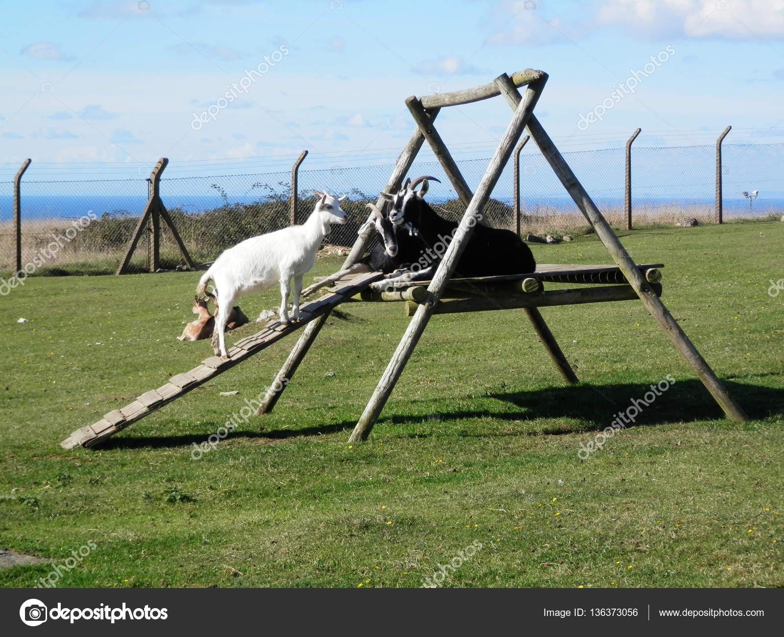 Klettergerüst English : Ziegen auf klettergerüst u stockfoto johnnywalker