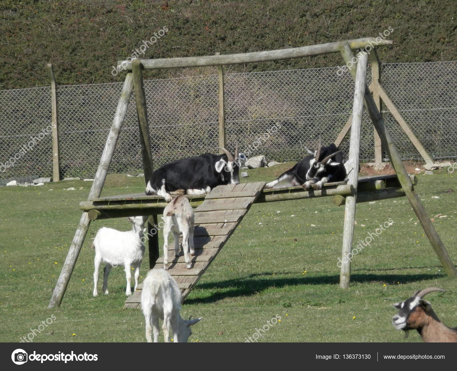 Klettergerüst Ziegen : Ziegen auf klettergerüst u2014 stockfoto © johnnywalker61 #136373130