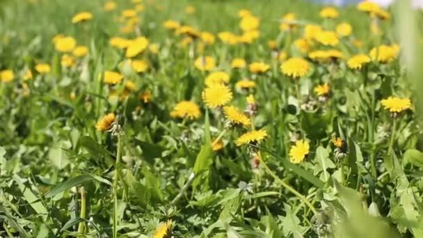 Tavaszi mező sárga pitypang virág