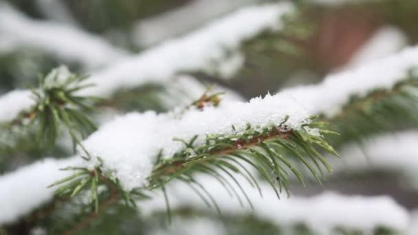 Větev stromu zasněžené jedle, ledový sníh padá v lese