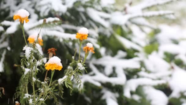 Yellow flowers covered with first snow