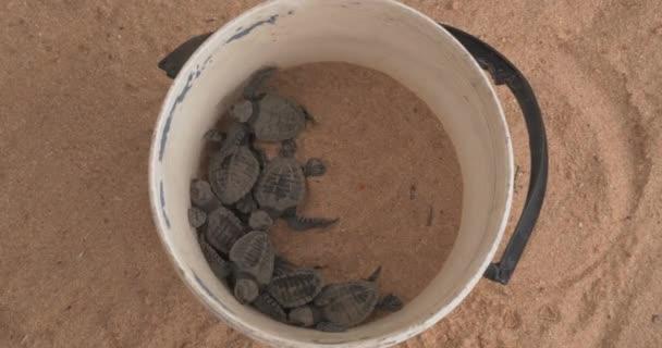 Novorozené zelené želvy se plazí v plastovém kbelíku. Olivová mořská želva Ridley - Lepidochelys Olivacea