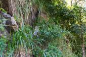 Photo Toque Macaque - Macaca sinica - in Sri Lanka
