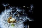 Jedno semeno Pampeliška