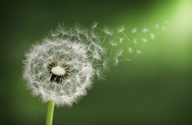 Dandelions seed flying