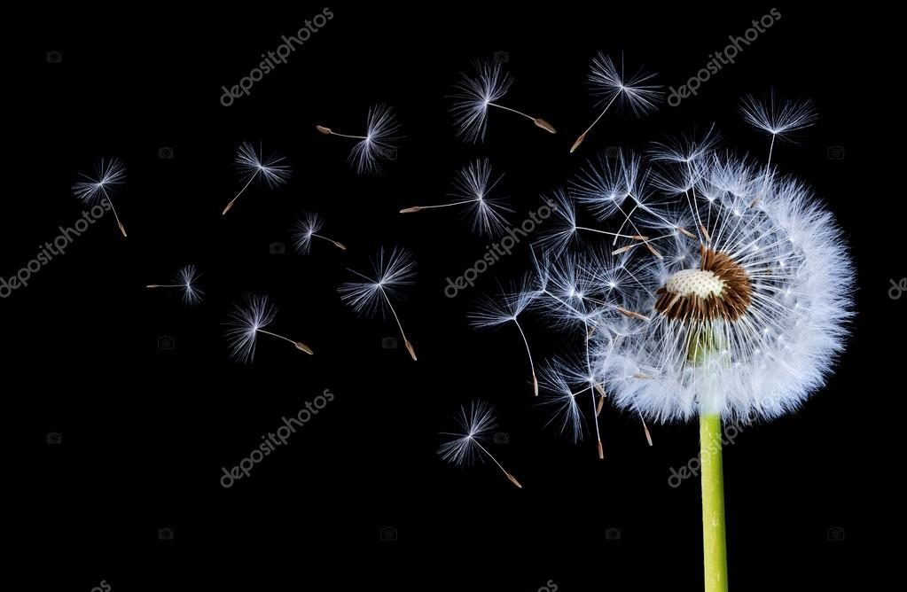 Dandelions flying close up