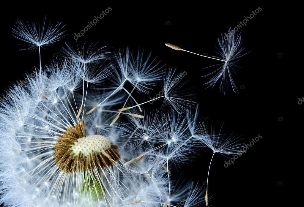 One seed dandelion