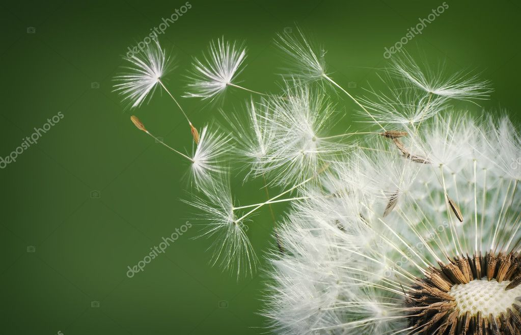 Dandelion seeds in the morning