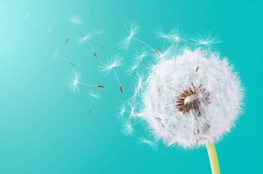 Close-up of dandelion flying on  natural background stock vector