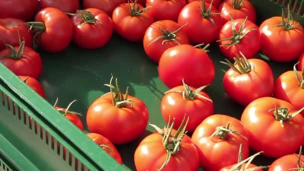 Tomaten wachsen im Gewächshaus