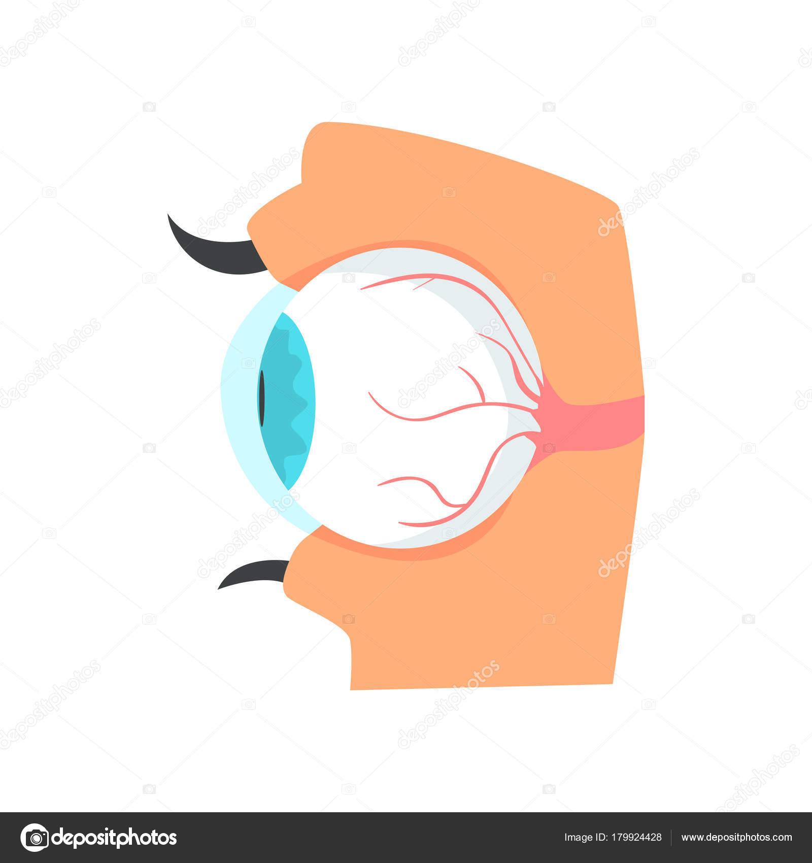 Globo ocular, anatomía de dibujos animados de ojo humano vector ...