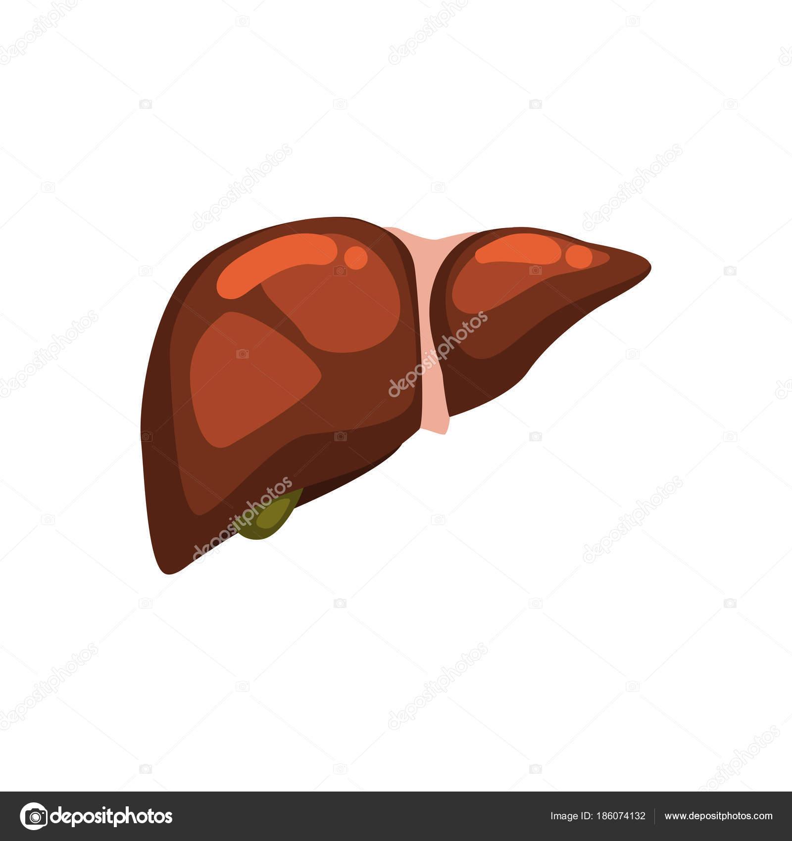 Menschlichen Leber, innere Organ Anatomie Vektor Illustration auf ...