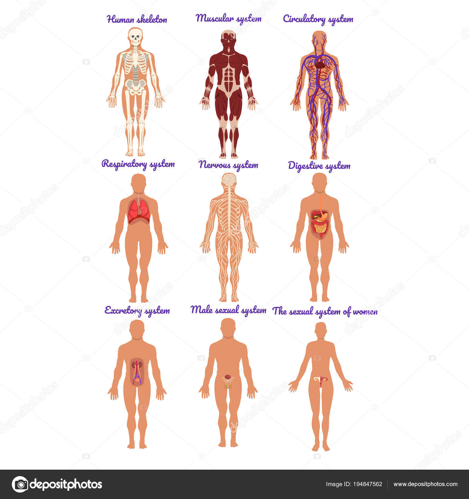Different Human Organ System Set Muscular Circulatory Respiratory