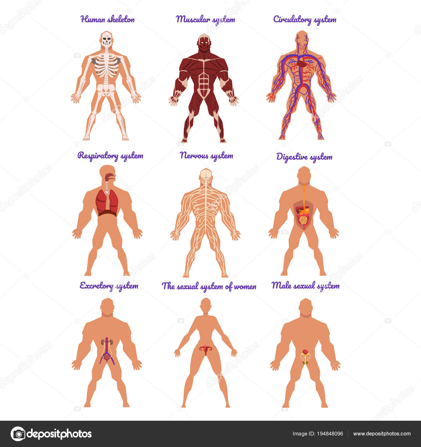 Different human organ system set, muscular, circulatory, respiratory ...
