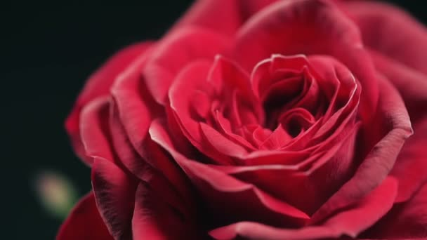 Red Rose Frozing. Nitrogen Ice on Rose