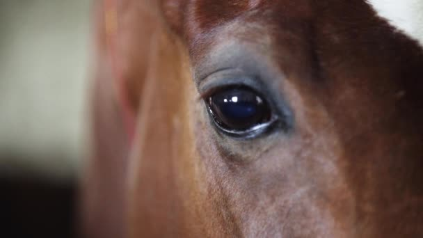 Brown horse eyes looks out of the stall