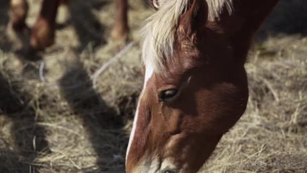 Hnědý kůň jí seno ve stáji