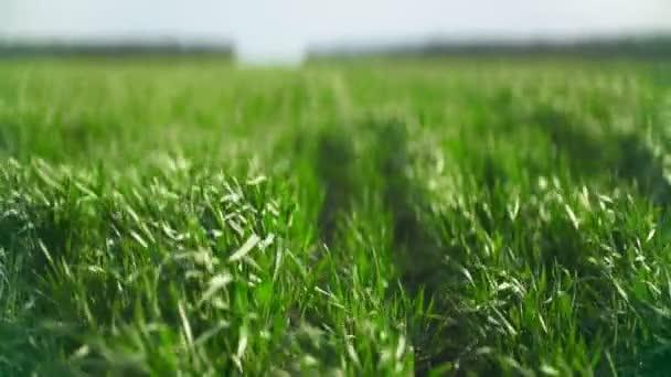 Zelené pole kukuřice. Kukuřičné listí na poli. Detailní záběr kukuřičného pole