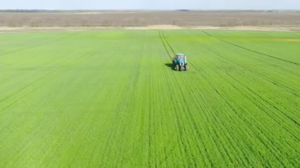 Mladé výhonky kukuřice na poli v řadách, farma pro pěstování kukuřice. Traktor rozmetá hnojivo po celém poli