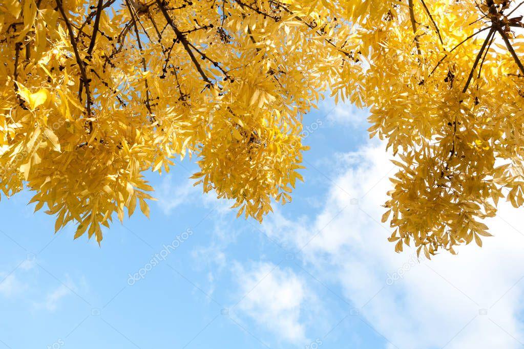 Las hojas de oto o amarillo en fondo de cielo azul foto - Descargar autumn leaves ...