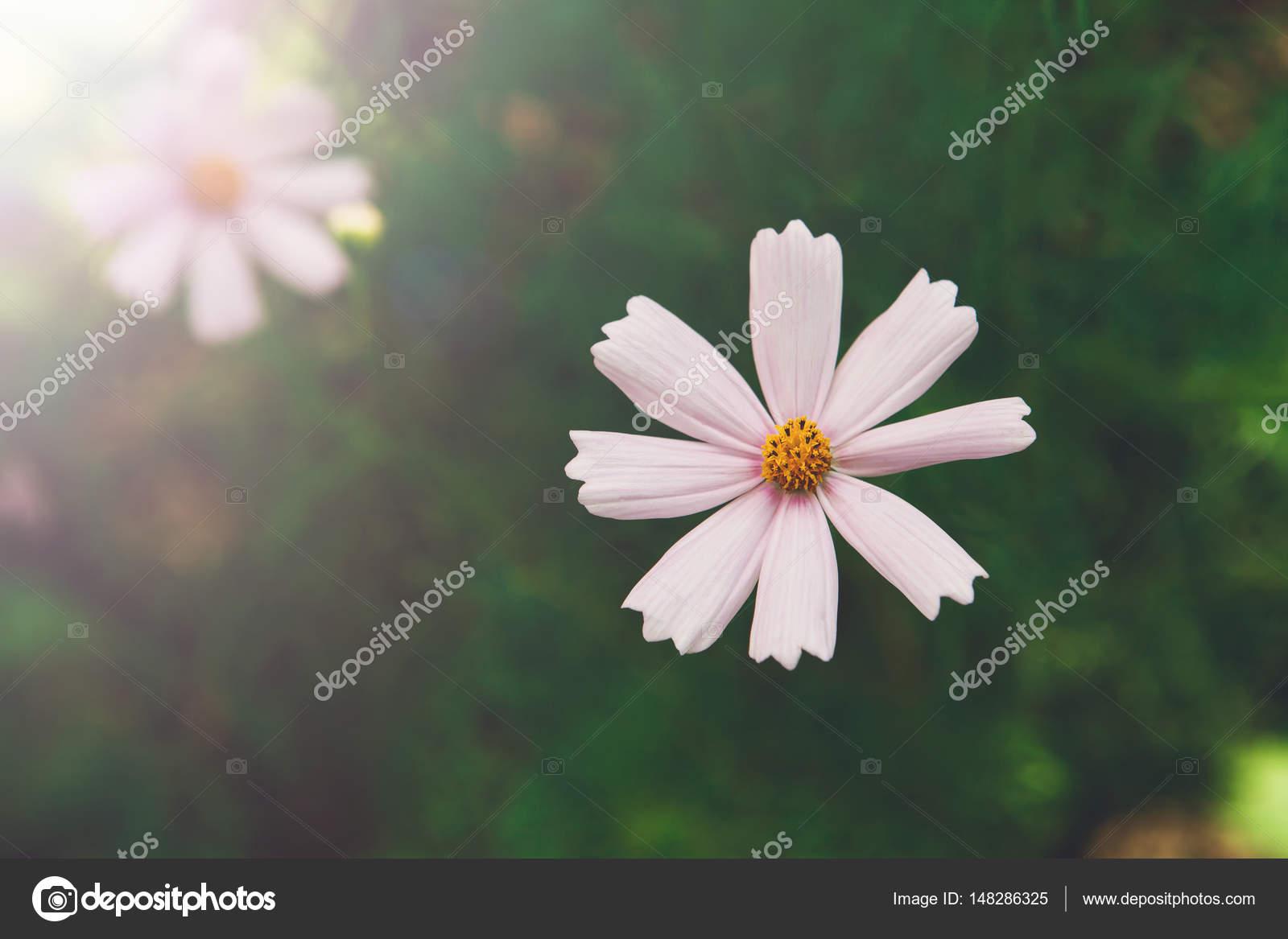 Fleur Rose Mexicaine Aster Ou Jardin Cosmos Agrandi En Plein Air