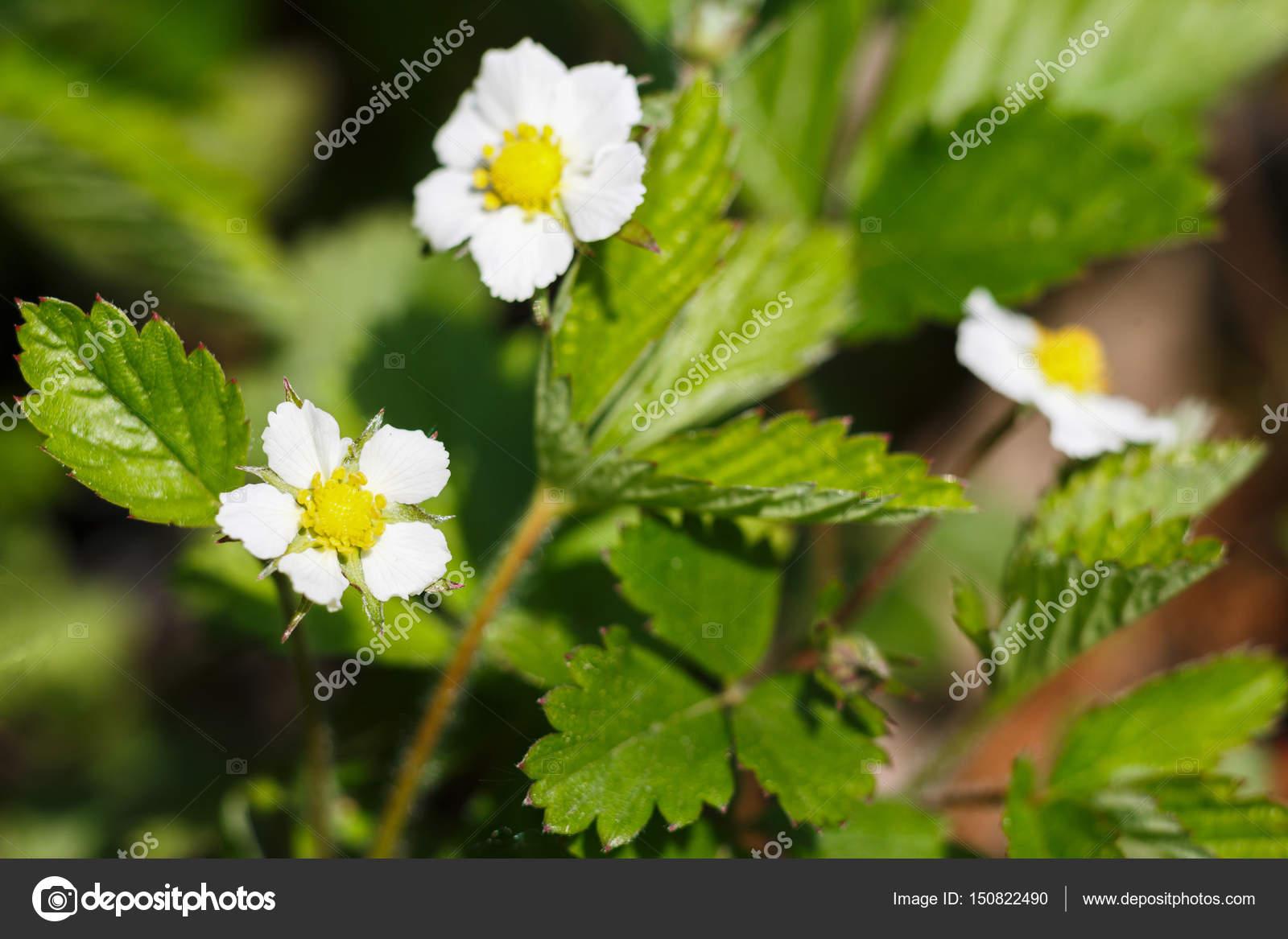 Fleur Fleur Fraisier Dans Jardin Verdoyant Photographie Milkos