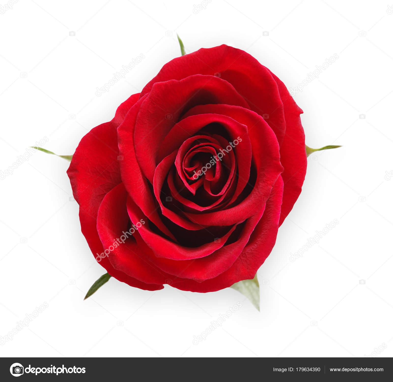 Colore rosso aperto bocciolo di rosa isolato su bianco vista ...