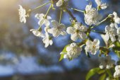 Fotografie Třešeň na jaře květ, větev s detailním květiny