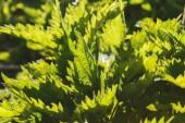 Obrázek pozadí čerstvých zelených listů, closeup