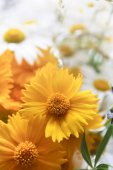 Beautiful daisies closeup. Flower background.