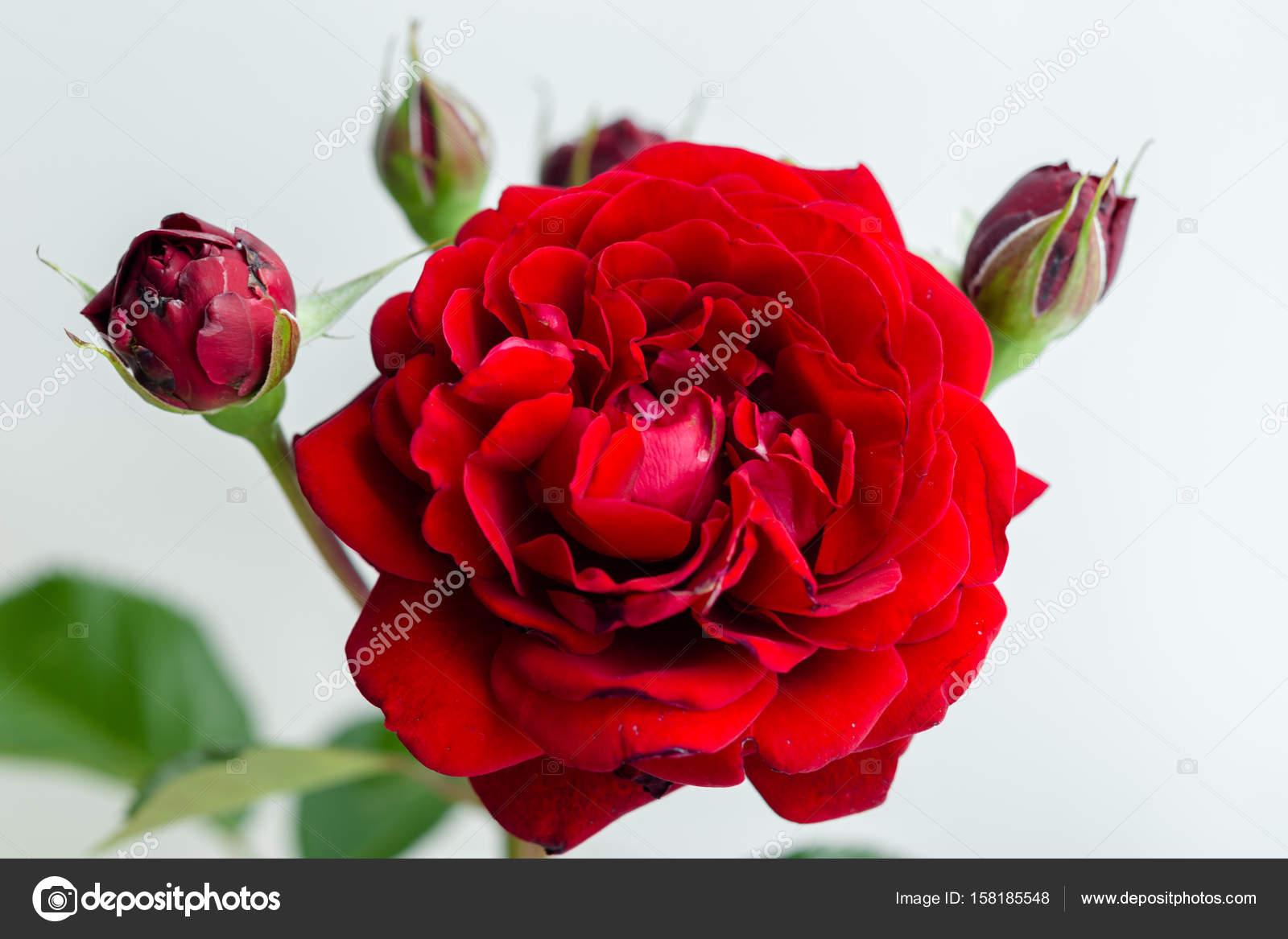 Belle Fleur Rose Rouge Photographie Smmartynenko C 158185548