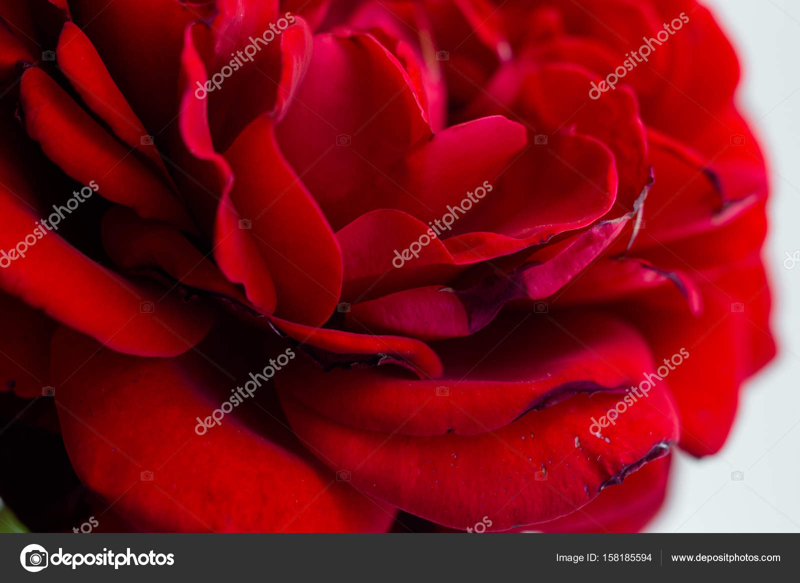 Belle Fleur Rose Rouge Photographie Smmartynenko C 158185594