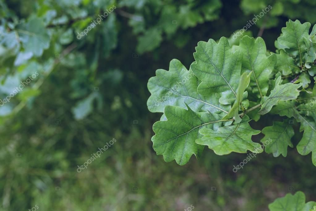 green leaves of oak tree