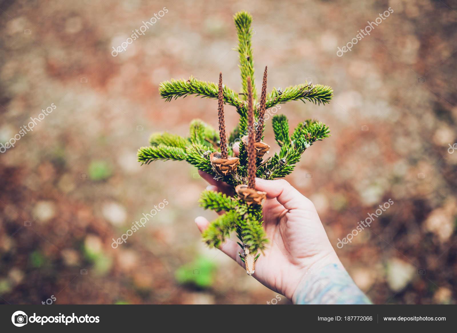 AuBergewohnlich Weibliche Hand Mit Tattoo Hält Frischen Grünen Zweig Pinie Am Holz. Das  Konzept Des ökologischen Tourismus U2014 Foto Von KristinaPonomareva