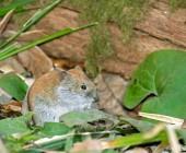 Myš mezi listy