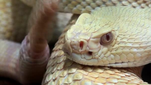 Snake video, Rattlesnake moving tail, close up, reptile