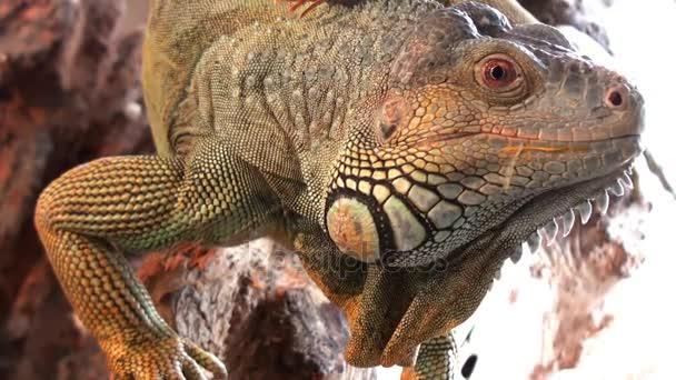 Állati hüllő videóinak, Comodo dragon közelről