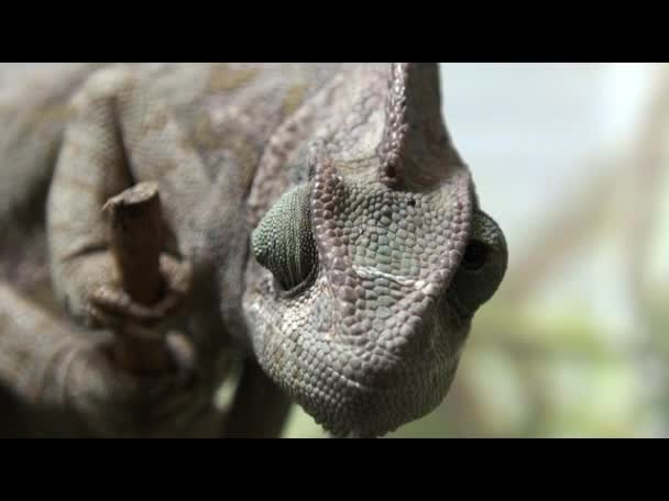 Plaz video, Chameleon zblízka